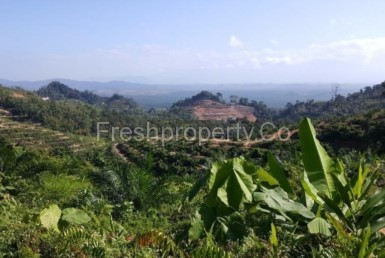 Bentong 38acres Palm Land 1